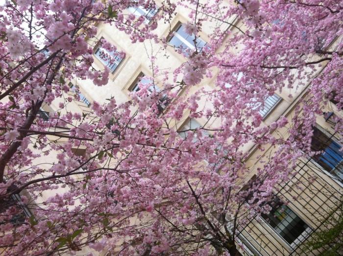 Cerejeiras em flor em Paris