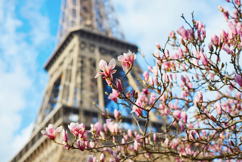 Cerejeiras em flor diante da Torre Eiffel.