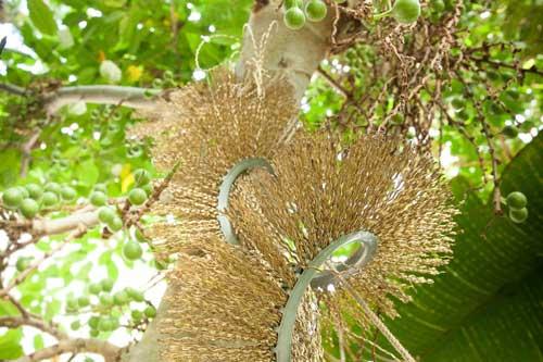 Plantas tropicais e fibras industriais