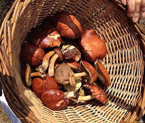 Cogumelos: cepes
