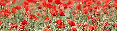 Flores vermelhas no Luxembourg