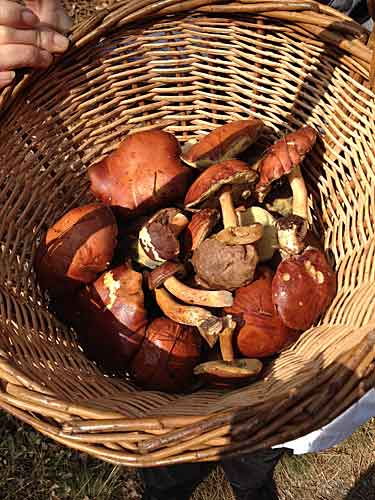 Cogumelo do outono: cèpes
