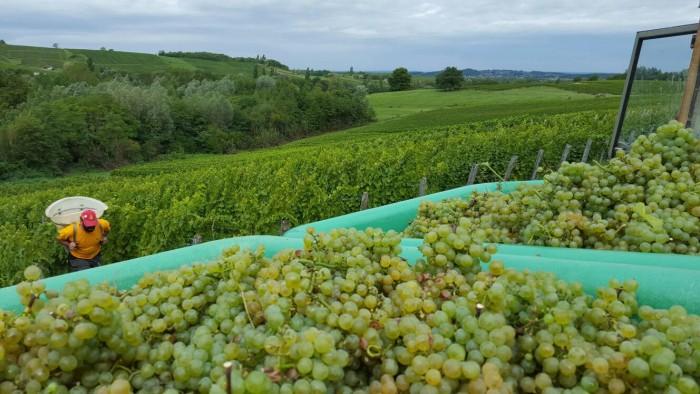 Na França, a colheita das uvas destinadas à produção de vinho é chamada de Vendange.