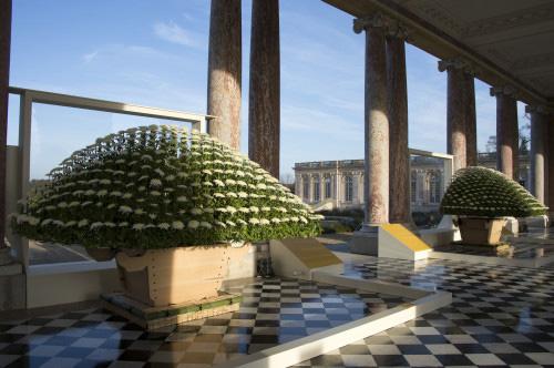 Crisântemo gigante em Versailles. Foto: Château de Versailles, Didier Saulnier