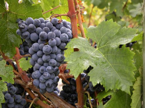 Experiências com novas castas poderão substituir uvas tradicionais , com a Cabernet Franc, usada nos cortes da região de Bordeaux