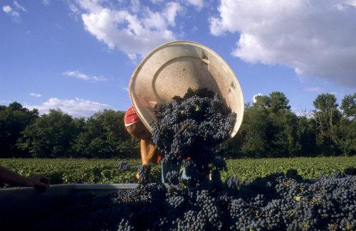 Colheita em Bordeaux