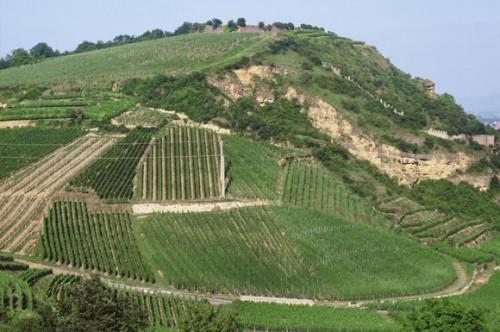 Vinhas de Riesling plantadas na parcela Heimbourg, no município de Turkheim, na Alsácia. Domaine Zind-Humbrecht.