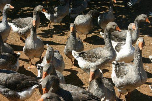 Gansos em uma fazenda de foie gras (foto: TAYLOR149 no Flickr)