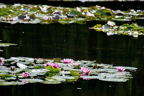 Jardim de Monet, ninféias. mat's eye no Flickr