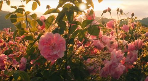 Plantação de rosas da família para Chanel