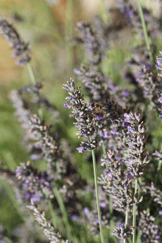 O mel de lavanda da Provence é relaxante e ajuda na cicatrização.