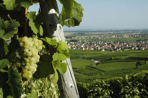 vinhos da alsacia
