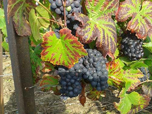 Principais produtos outono: uvas. Tourisme Champagne no Flickr