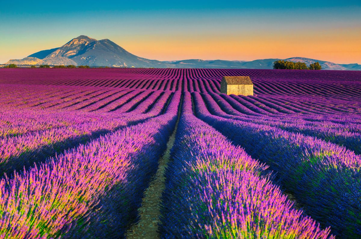 Os campos de lavanda em Valensole, na Provence, sul da França.